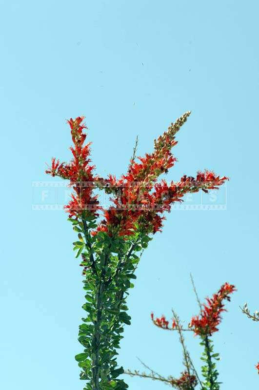 The Fiery Red Ocotillo Blossoms