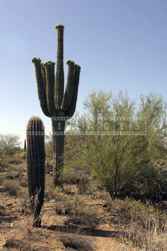 Sonoran desert native plants