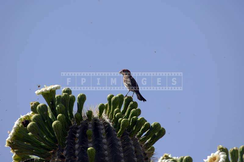 Bird feeding on bugs near Saguaro flowers