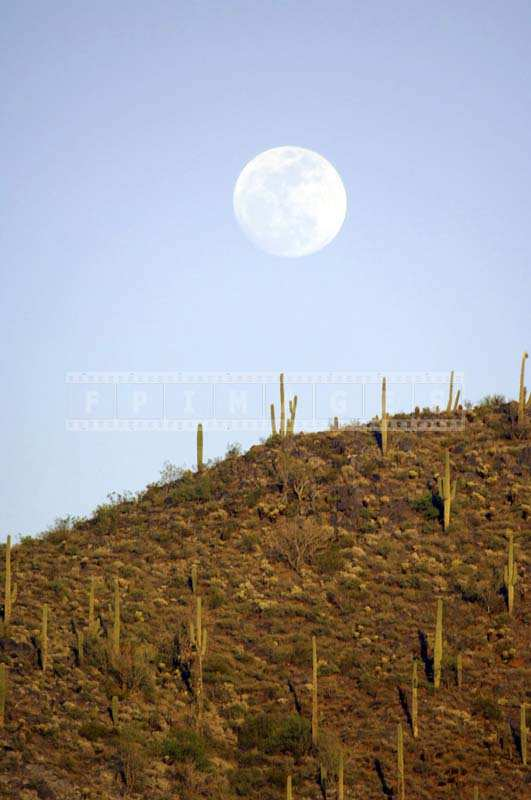 A Full Moon above a Rich Patch of Saguaro Cacti
