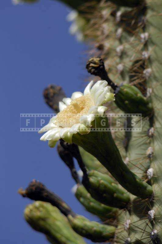 Macro picture of white cactus bloom