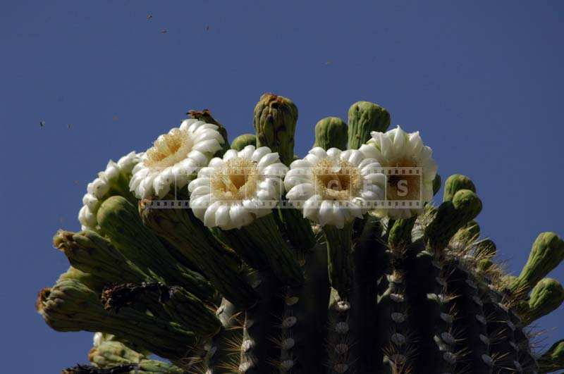 White Flowers of Saguaro
