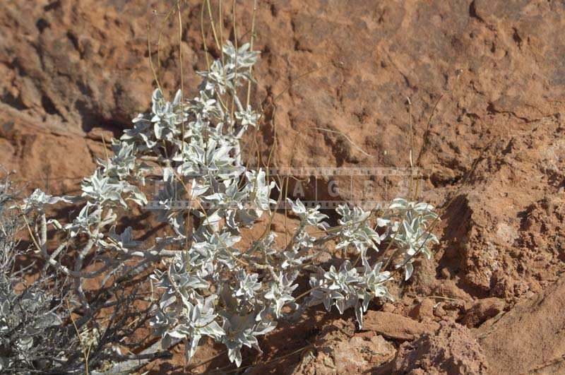 Desert Plants in the Valley, brittle bush