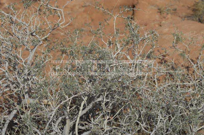 Picture of Desert Burro Bush