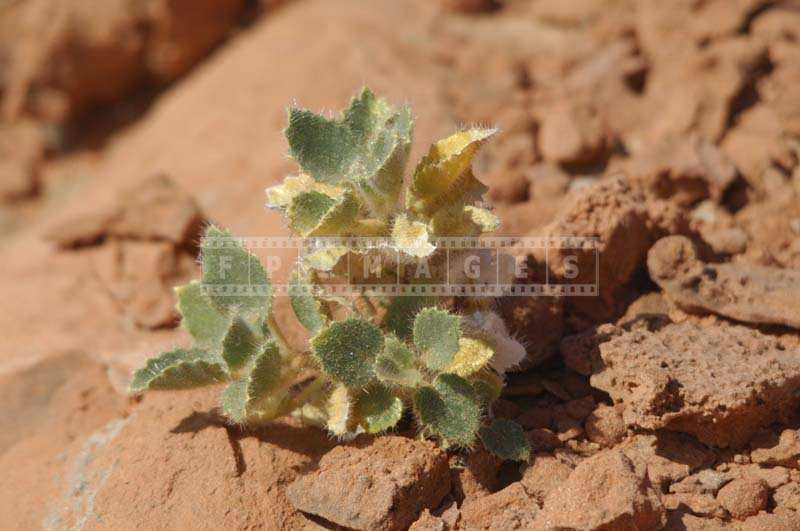 Small Succulent Plant with hairy leaves, mojave desert