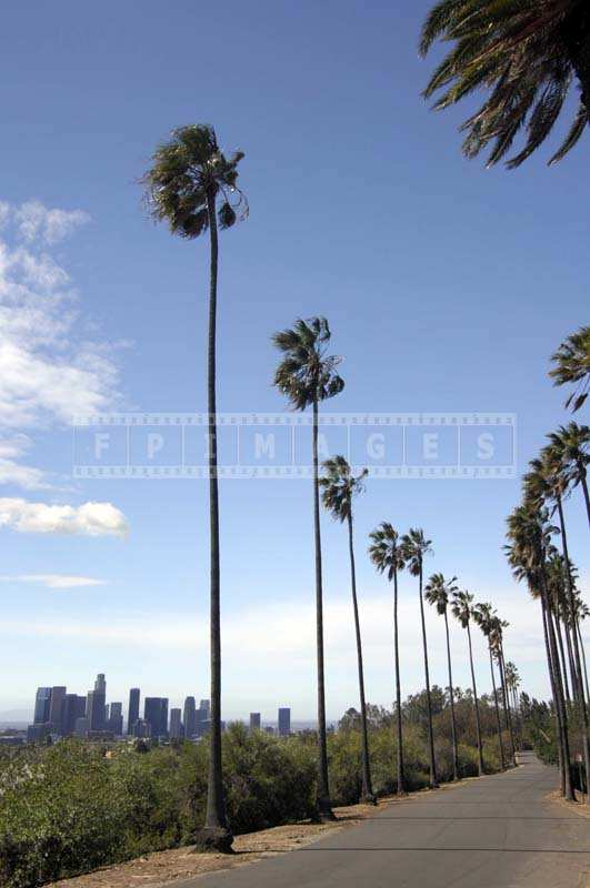 Beautiful Image of the Tall Palm Trees, Elysian Park