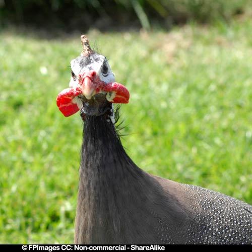 guinea hen bird picture