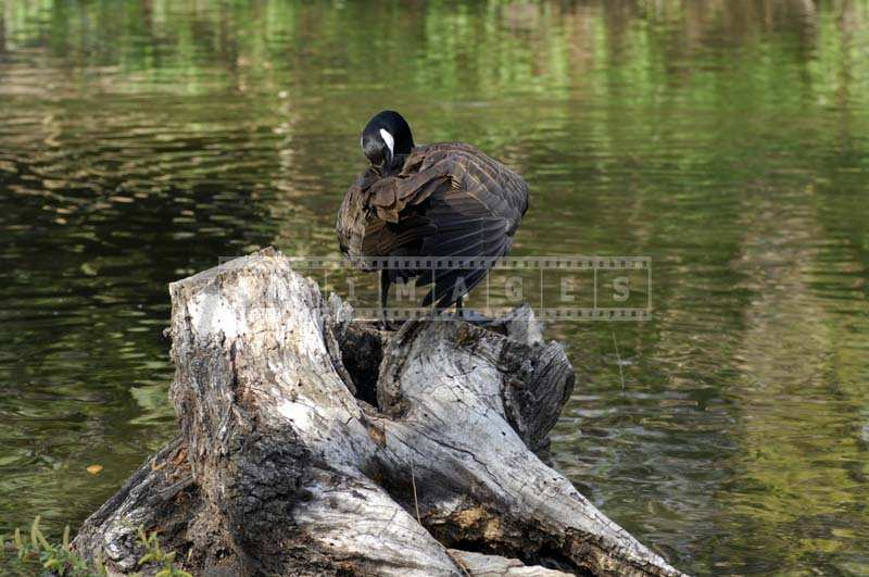 Image of a Canada Goose sitting on a stump by the lake