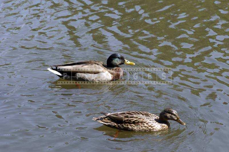 Charismatic Picture of Two Mallard Ducks