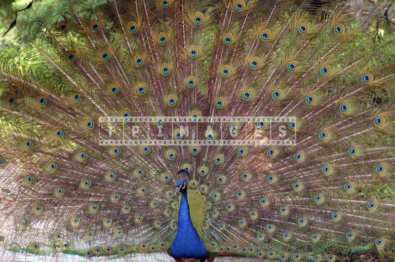 Picture of a Beautiful Peacock image during courtship