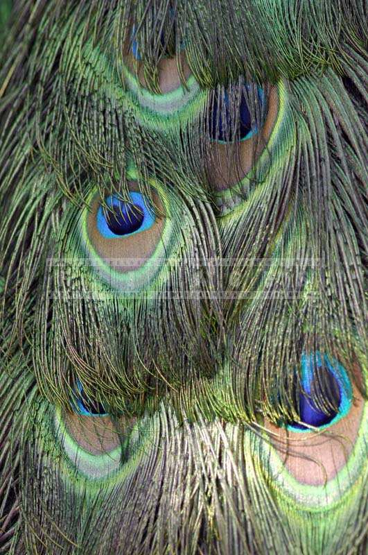 Image of Gorgeous Peacock blue-green Feathers