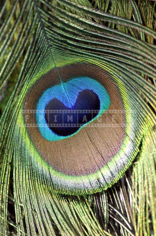 Macro Image of a Beautiful Peacock Eye Feather