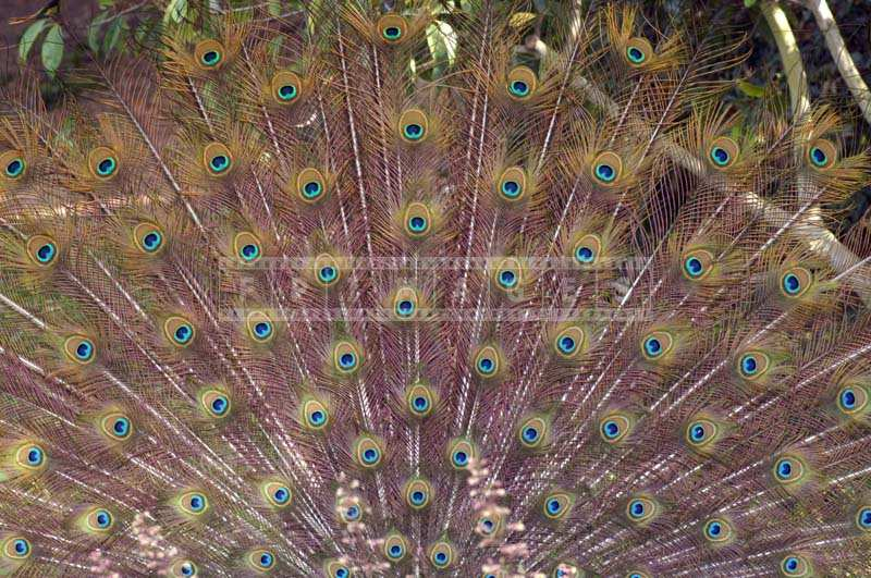 Picture of Stunning Peacock Feathers