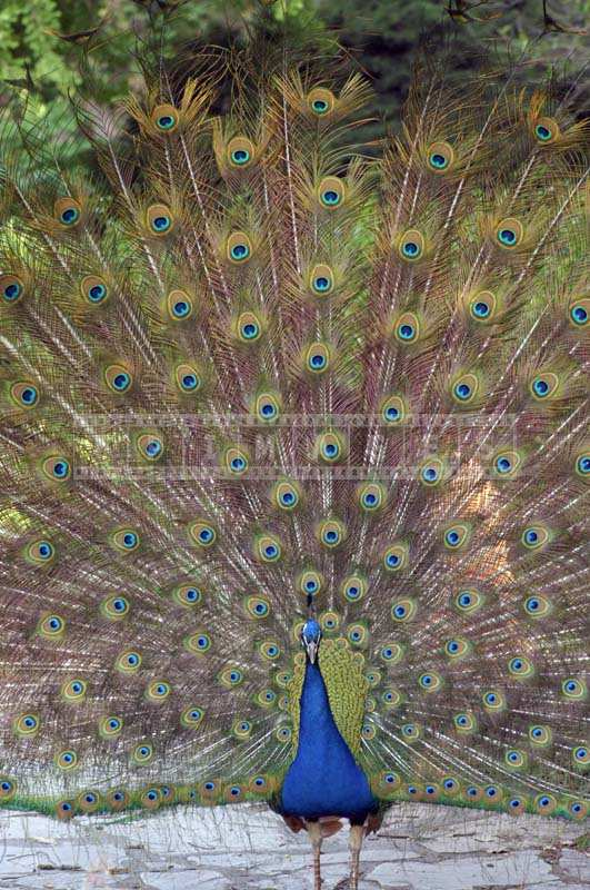 Picture of Peacock with tail fully opened