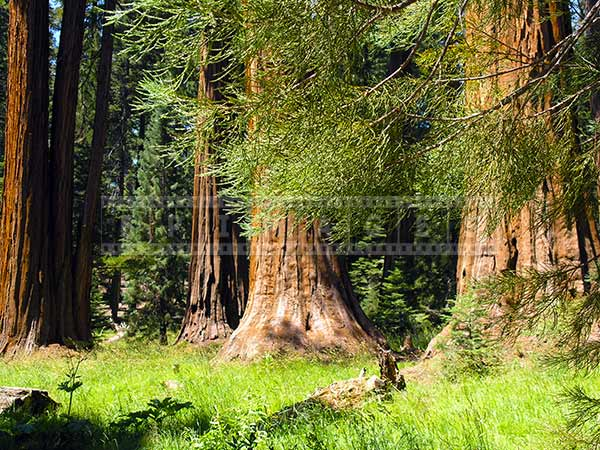 Beautiful forest landscapes, hike amongst redwoods trees pictures