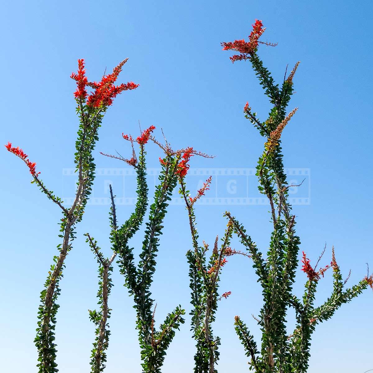 Ocotillo desert plant in bloom