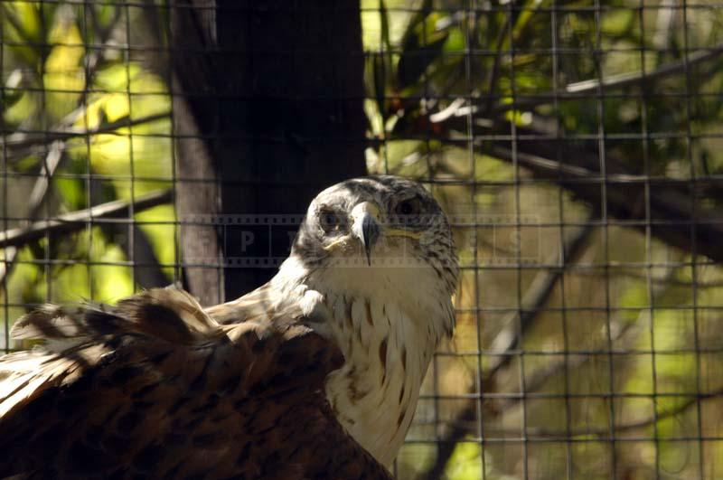 Image of Ferruginous Hawk at Living Desert