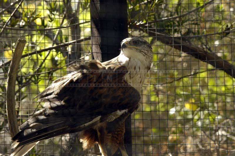 Ferruginous Hawk Pictured inside its Cage