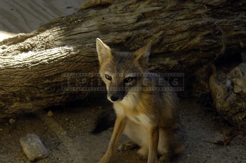 A Swift Fox Posing for the Camera