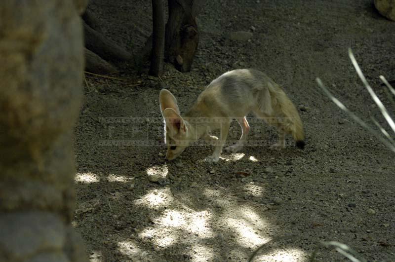 Africa's Fennec Fox