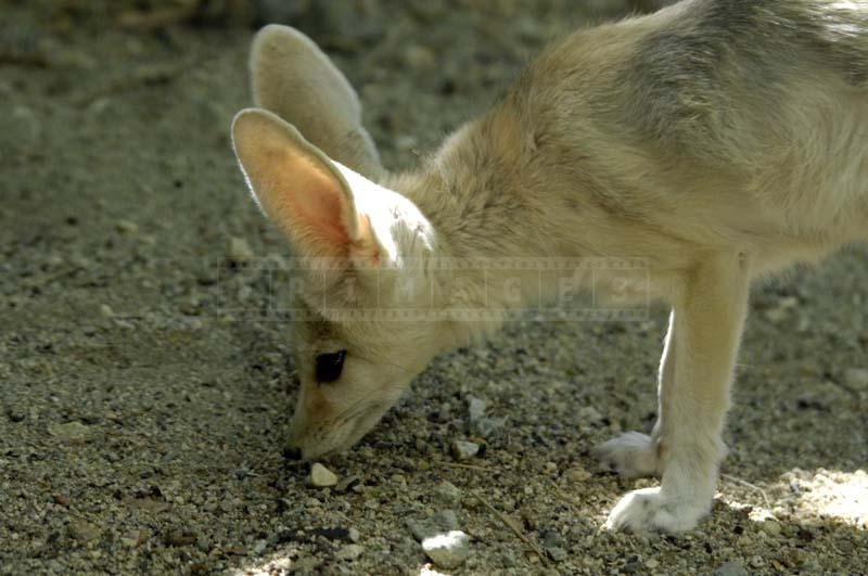 Ears of Africa's Fennec