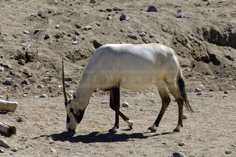 An Arabian Oryx