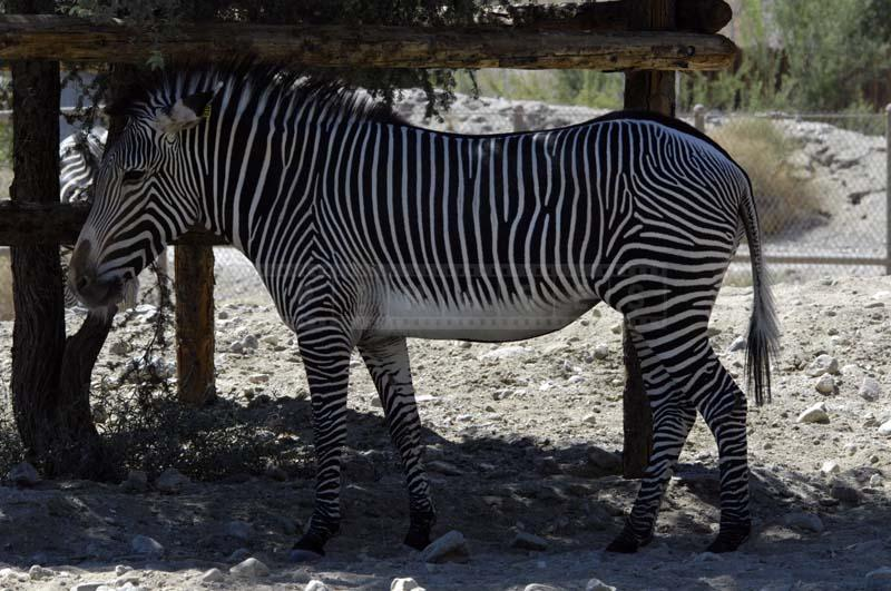 Grevy's Zebra at Living Desert Palm Springs