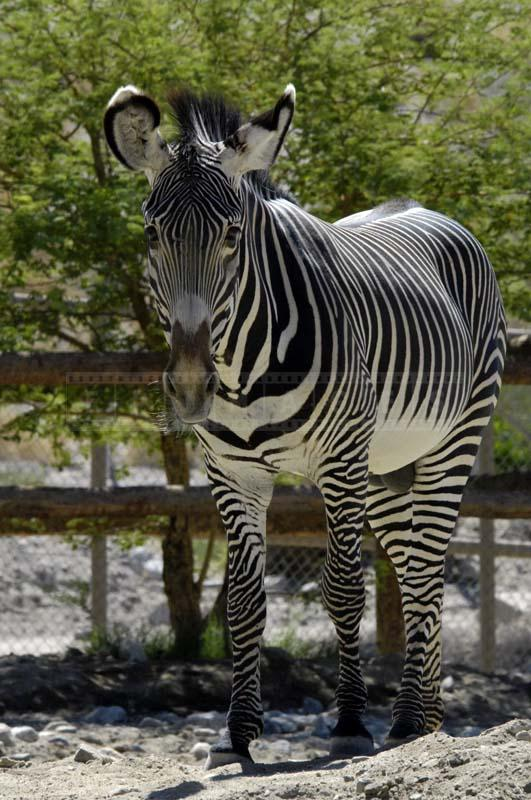 Front View of Grevy's Zebra
