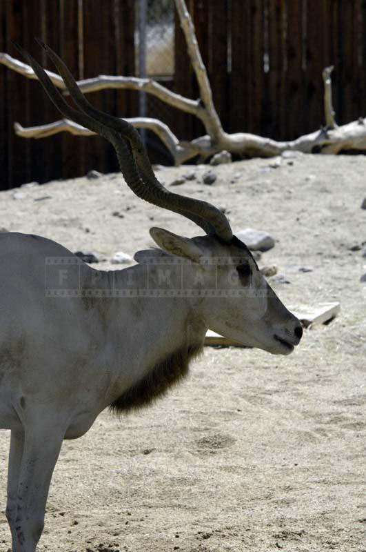 Photo of Addax Antelope at Living Desert