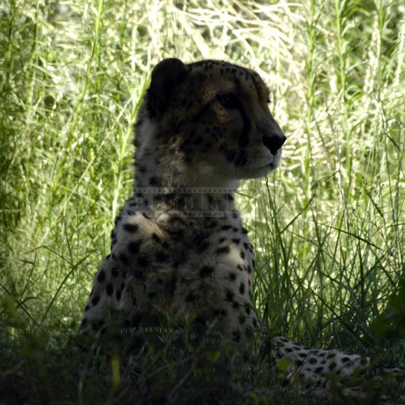 An Alert Cheetah, c