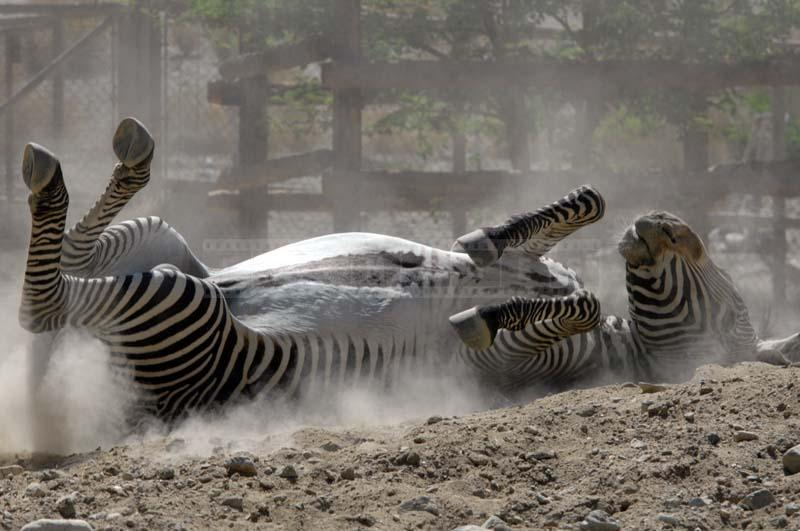 Grevy's Zebra Playing in Dust