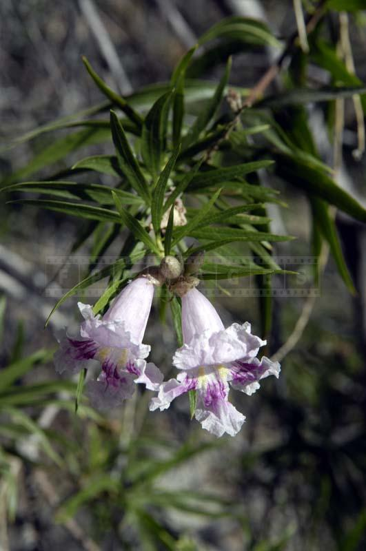 Desert Willow at Garden