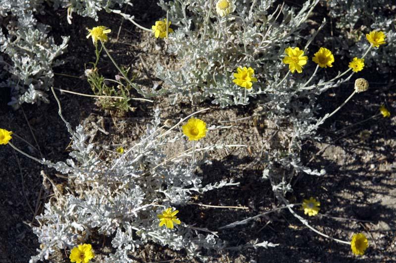 Desert Marigold at Living Desert Garden