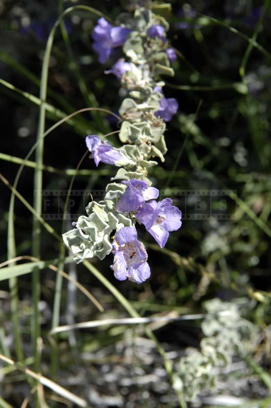 Purple Flowers of Mexican Chihuahuan Sage