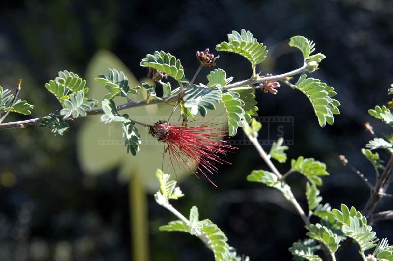 Baja Fairy Duster with Red Flowers