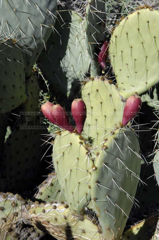 Brown Spine Prickly Pear at Living Desert