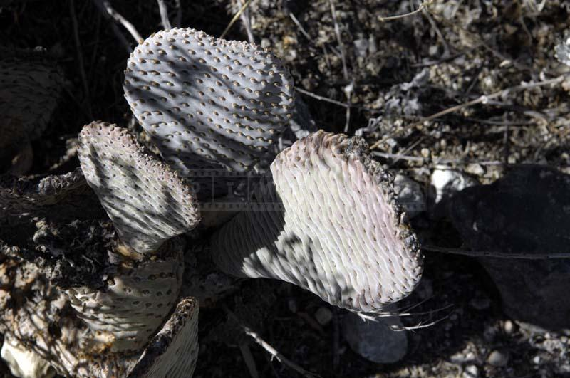 Photo of Beaver Tail Cactus