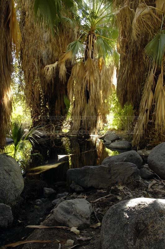 Fan Palm with Dried Leafs