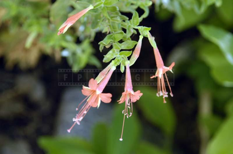 Desert Fuchsia with Flowers