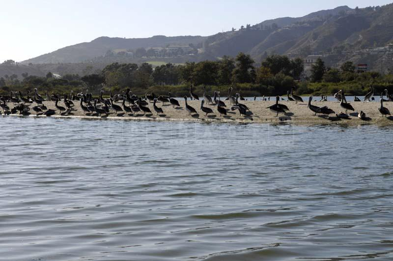 Colony of California Brown Pelicans at Malibu Lagoon, bird picture
