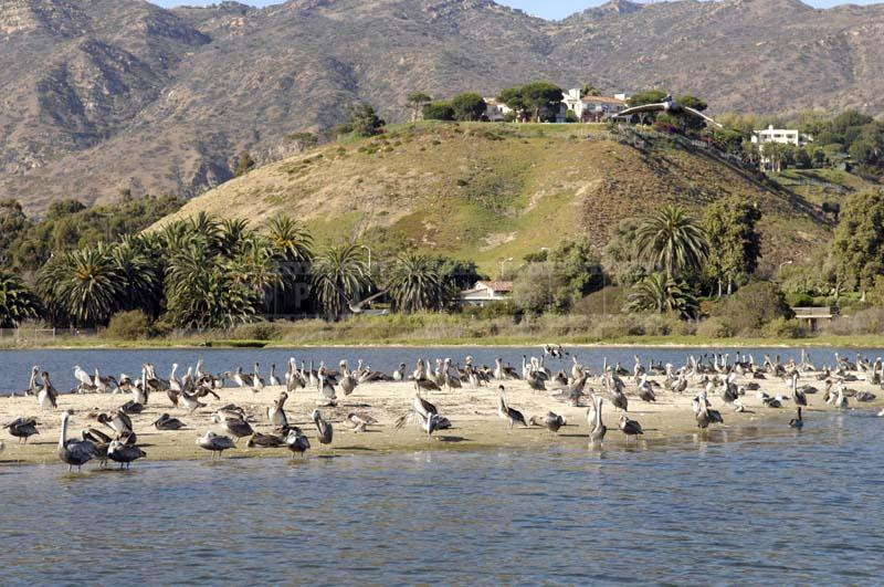 California Brown Pelicans Colony, nature picture