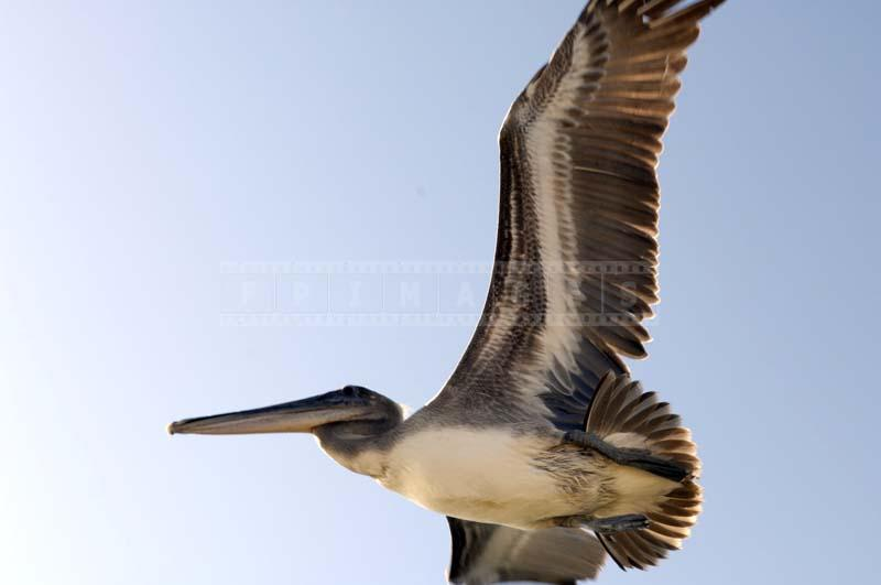 Backlit brown pelican flying at Malibu Lagoon