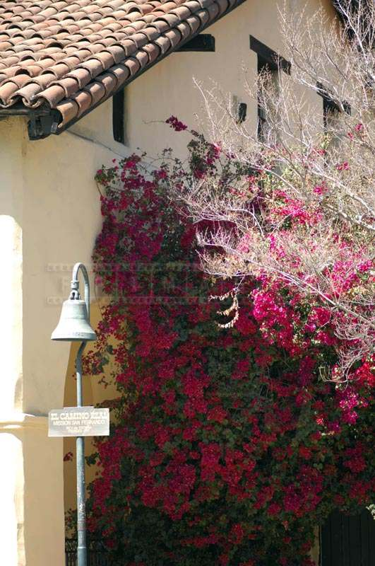 Flowering Bougainvillea Plant