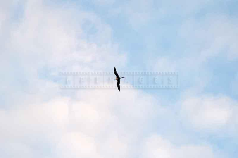 Frigate bird flying high in the skies