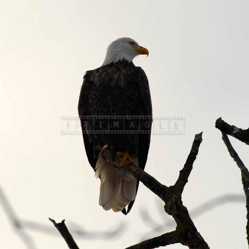 Bald eagle bird of prey sitting on a branch