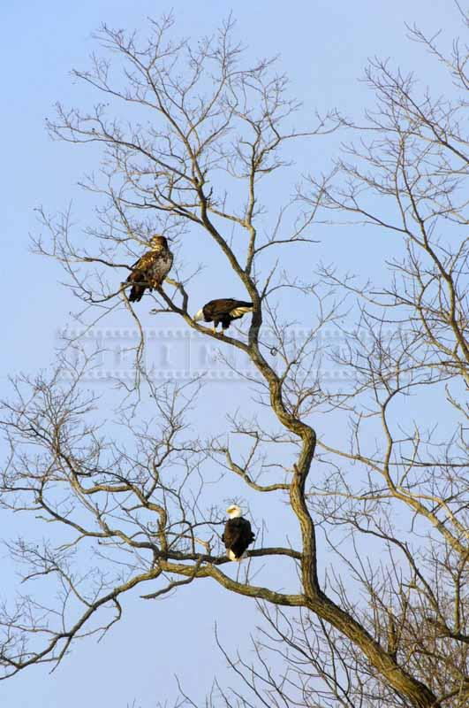Three eagles on the tree