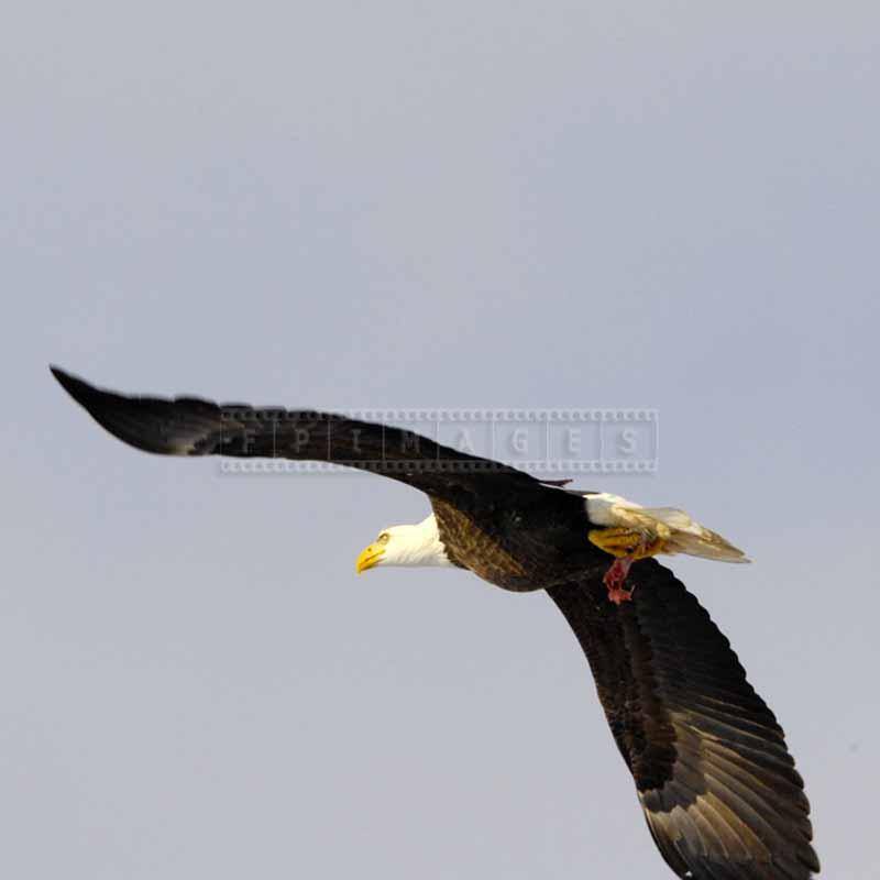 Eagle flying with chicken meat in his claws