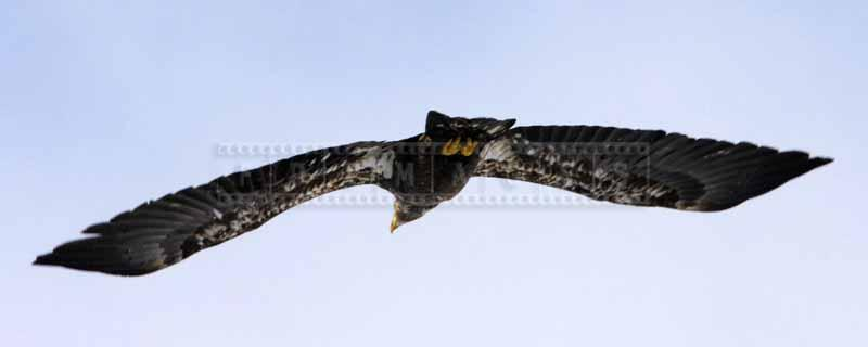 Wingspan of an eagle in flight