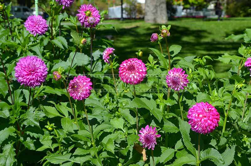 Blooming Dahlia at the Public Gardens in September