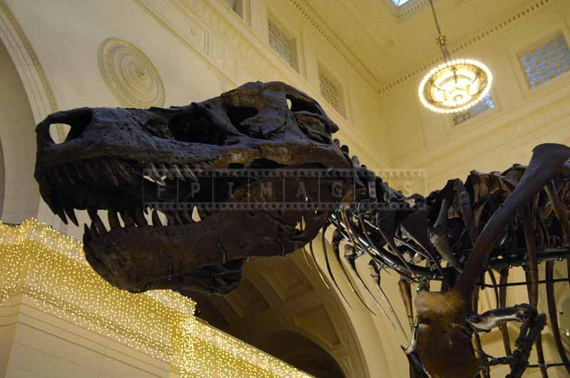 Giant head of the dinosaur at Field museum, dinosaur bones